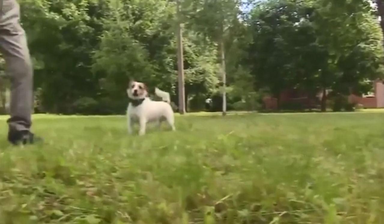 積羅素犬「馬霍」當日跟男主人到公園散步。(《Metro》影片截圖)