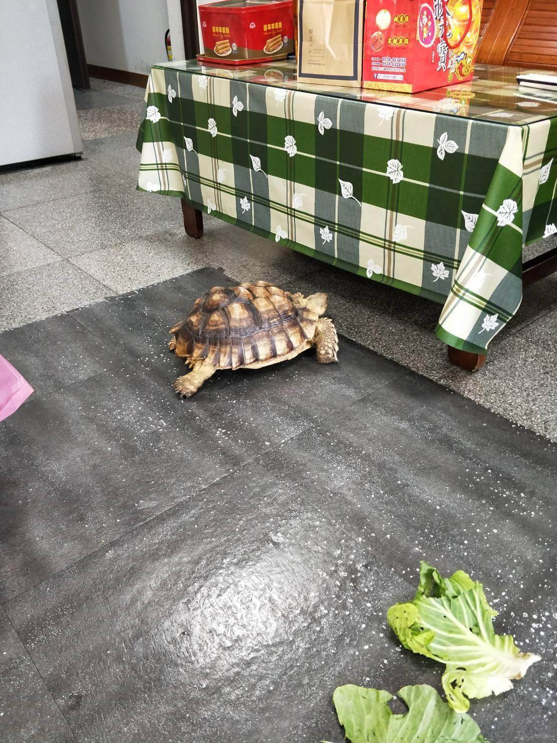 約一顆籃球大、重約4公斤的蘇卡達陸龜在派所內趴趴走,員警提供高麗菜葉、西瓜等水果...
