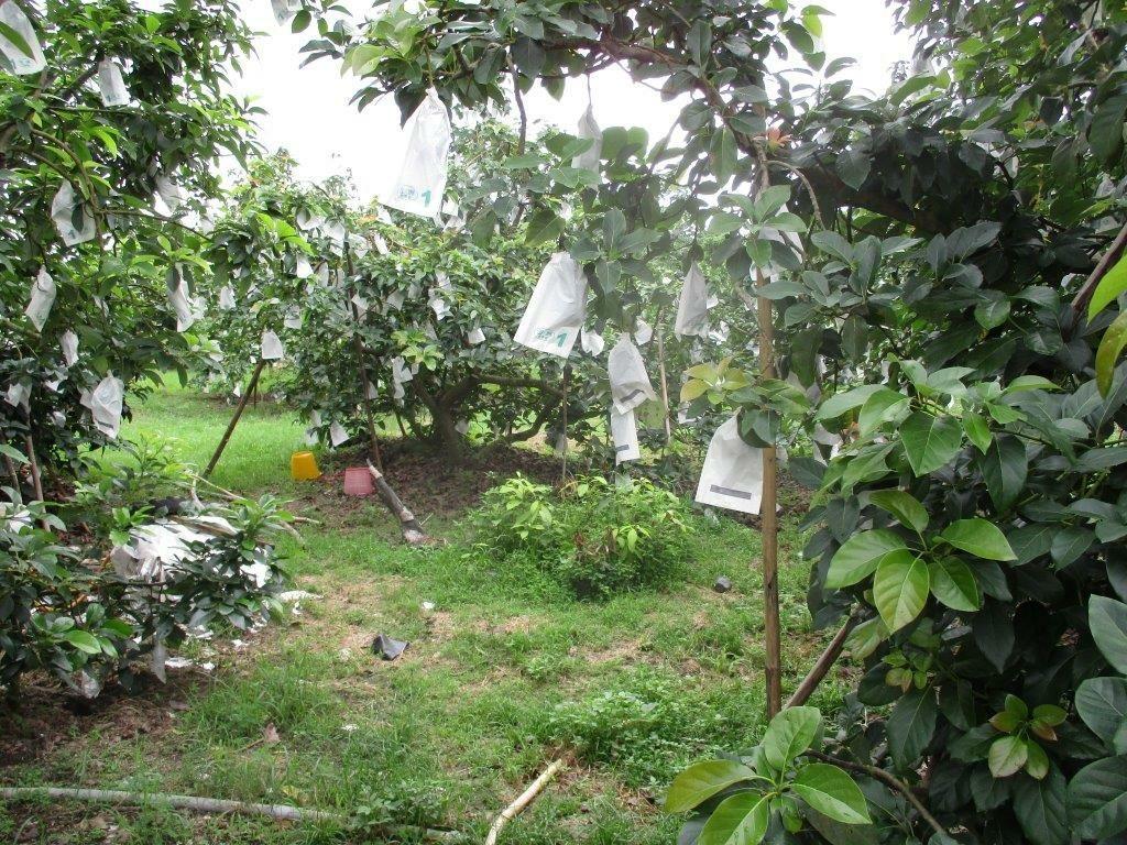 竹崎警分局仁和派出所,本月15日接獲轄區農民報案,指果園內數十公斤成熟酪梨「不見...