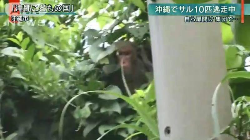 有人目擊到猴子躲在樹林。(ANN新聞截圖)