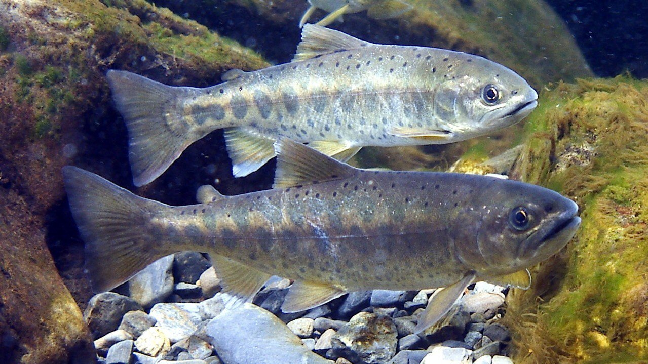 台灣櫻花鉤吻鮭命名已百年,圖為成鮭。圖/雪霸國家公園管理處提供、廖林彥攝影