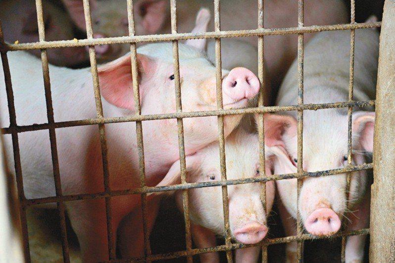 雖然中國當局宣稱非洲豬瘟疫情已獲控制,但路透社援引相關人士說法報導,高達「半數」種母豬不是因豬瘟病死,就是為防止疾病擴散遭到撲殺,這個數據是官方承認的兩倍。 路透