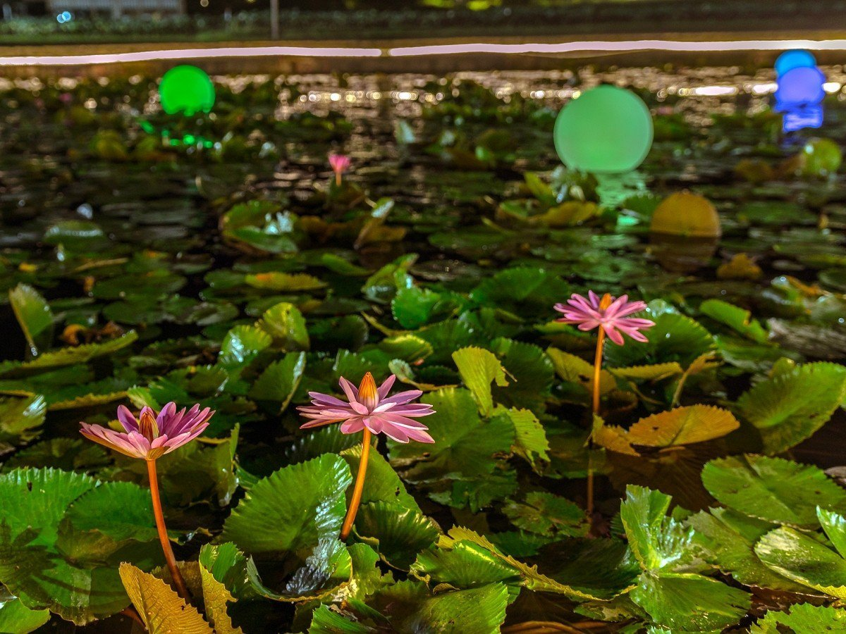 「新北稼日時光─雙溪荷所在」活動,首推浪漫燈飾打造的「夜賞睡蓮」,將一直展到七夕...