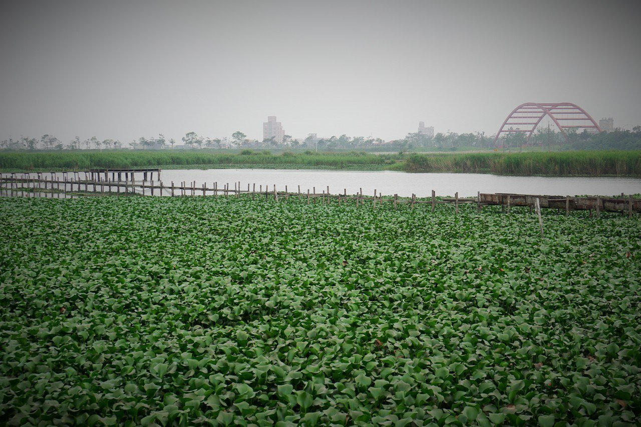 宜蘭冬山河附近的五十二甲濕地,生態豐富,多年前被縣府劃入保護區,成為候鳥群居築巢...
