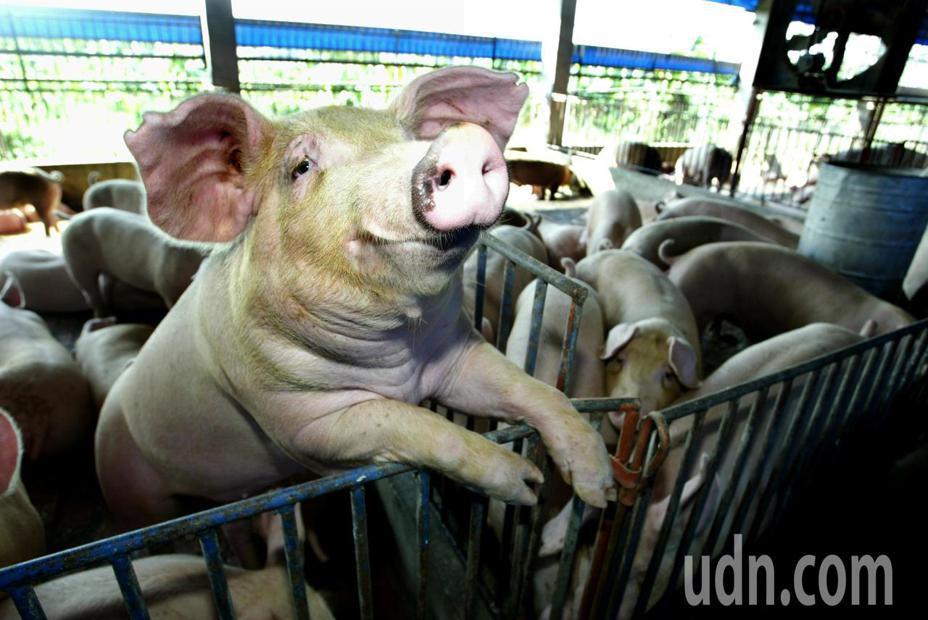 今天起,我國可向世界動物衛生組織(OIE)申請不使用口蹄疫疫苗非疫區,學者認為,這只是取得豬肉外銷的入場券。本報資料照片