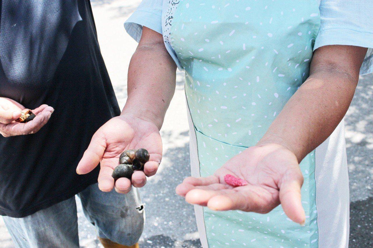 為杜絕金寶螺蟲害,台東縣池上鄉今天起至8月30日止撿拾金寶螺累積達2.5公斤,可...