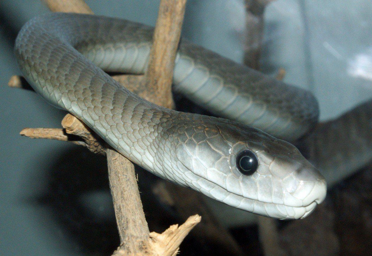 黑曼巴蛇。圖/維基百科