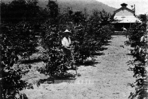 日據時代的「豐田咖啡樹」舊照。 圖/台灣大學圖書館