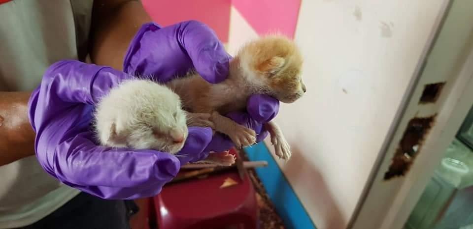 台中市沙鹿區有二隻幼貓掉在木牆內,網友求助後,立刻有熱心者救出貓。圖/取自臉書沙...