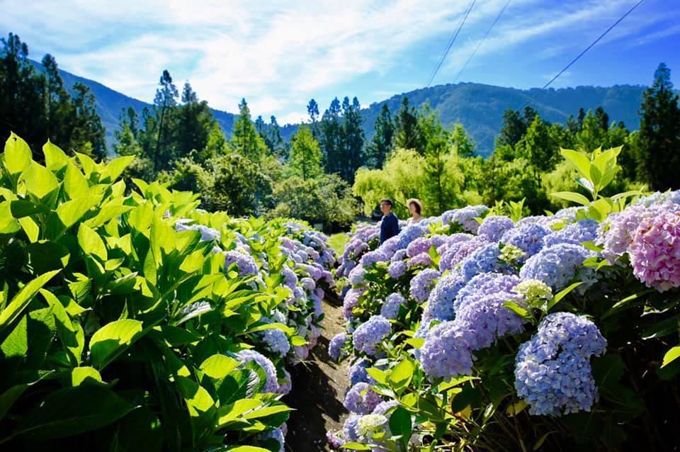 搭配一旁綠意盎然山景,使得繡球花看起來更是充滿仙氣。圖/摘自武陵農場粉絲專頁