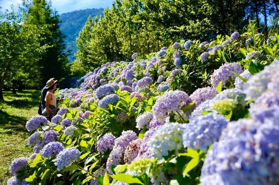 武陵農場繡球花正盛開中。圖/摘自武陵農場粉絲專頁