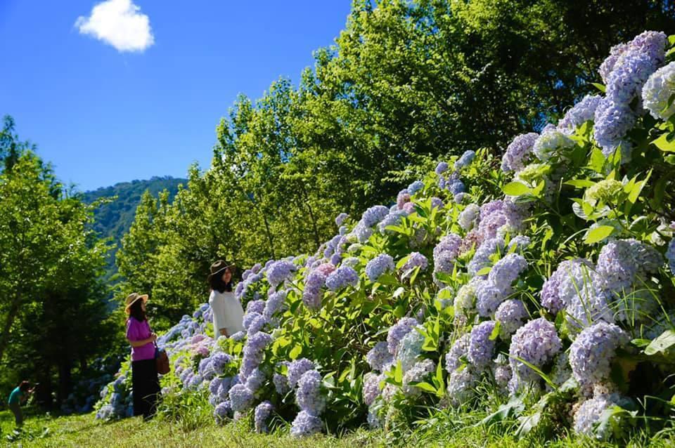 武陵農場繡球花花期預計到7月底為止。圖/摘自武陵農場粉絲專頁