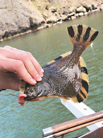 「星斑川鰈」(一種比目魚)屬於願者上鉤的魚種,靜靜垂釣,它就會來咬餌。 記者錢欽...