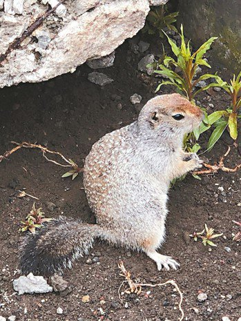 土撥鼠是冰山上常見的的動物,憨態可掬。 記者錢欽青/攝影