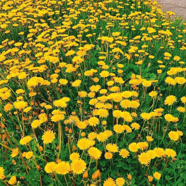 彼得羅巴甫洛夫斯克六月分處處可見盛夏限定的鮮黃色的野山菊花。 記者錢欽青/攝影