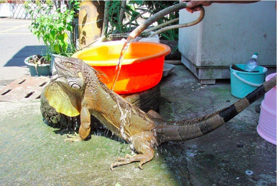 「吃素的酷斯拉」綠鬣蜥殘害屏東農田,令農民苦不堪言,縣府連續兩年捕獲超過千餘隻。...