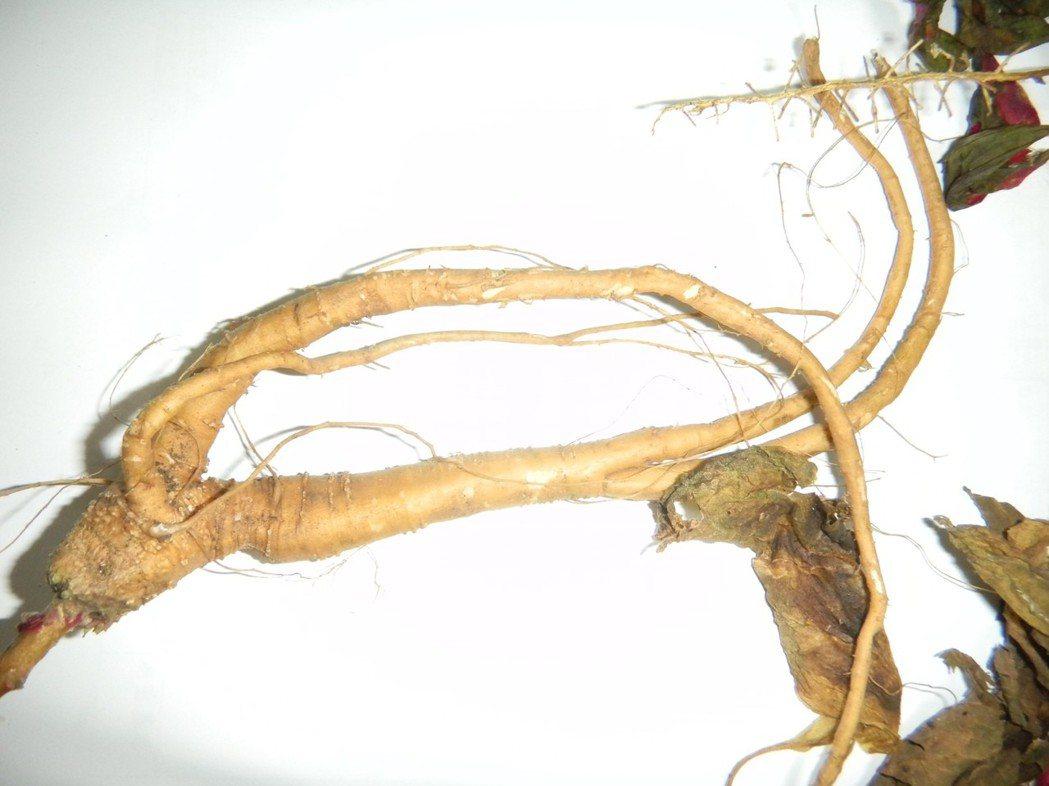 美洲商陸的根部含有商陸素(phytolaccatoxin)、商陸鹼(phytol...