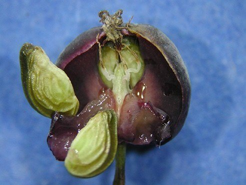台灣馬桑全株有毒,含有馬桑毒素,常被誤以為是桑椹,誤食後的中毒症狀為全身發麻、冒...