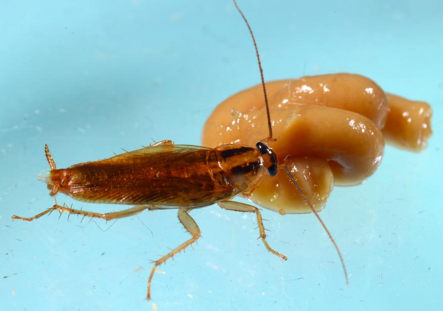 新研究指出,蟑螂開始演化出越來越強的抗藥性,未來光用殺蟲劑可能難以將牠們消滅。取...