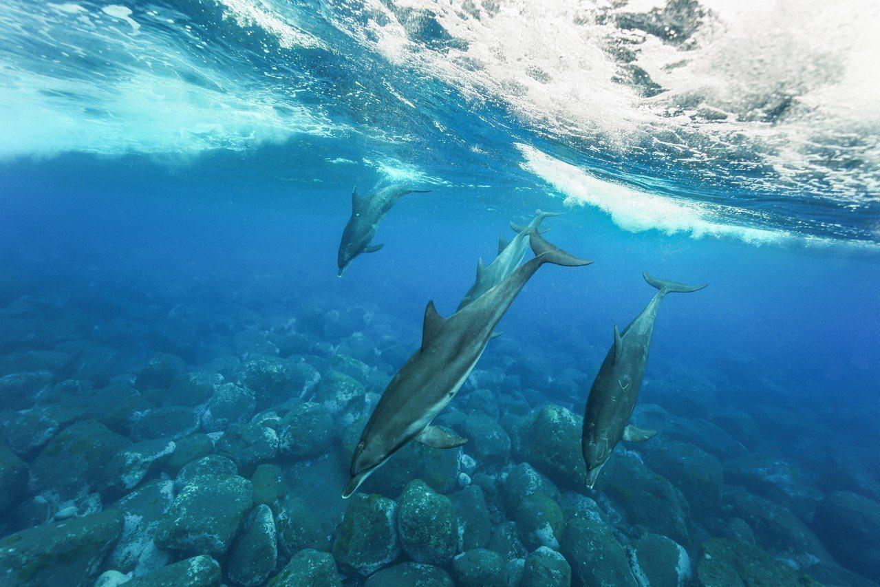 海豚們其實還滿喜歡有點浪的海面。 圖/金磊提供