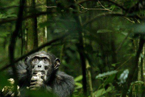 蕭人瑄/非洲森林悲歌(上):逐漸「島化」的野生黑猩猩群體