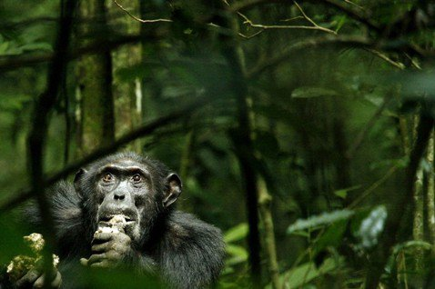 非洲森林悲歌(上):逐漸「島化」的野生黑猩猩群體