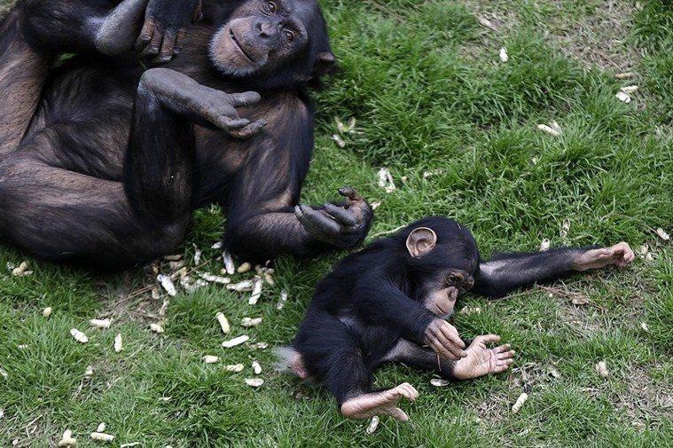黑猩猩在生物學分類中與人類最接近。 圖/美聯社