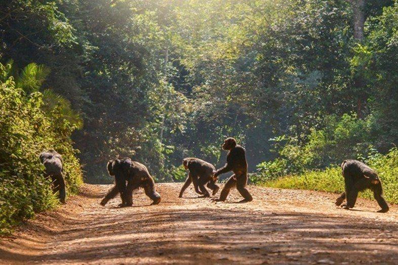 黑猩猩的棲地因條條大路而碎裂化。 圖/取自Earth Touch
