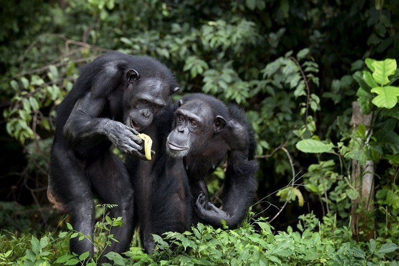 果實是野生黑猩猩的主要食物。 圖/路透社