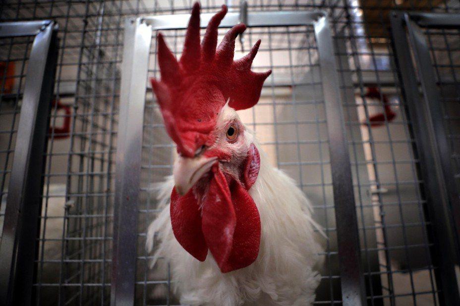一名婦人遭公雞啄傷,意外導致失血過多身亡。圖為示意圖。 歐新社