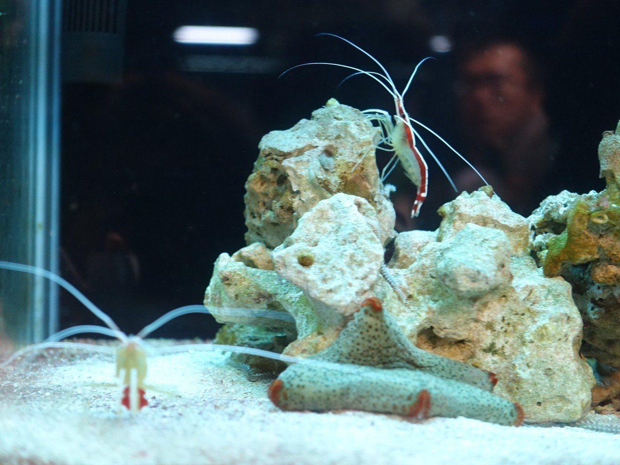 觀賞魚產業有7成以上集中屏東,圖為觀賞蝦。 記者翁禎霞/攝影