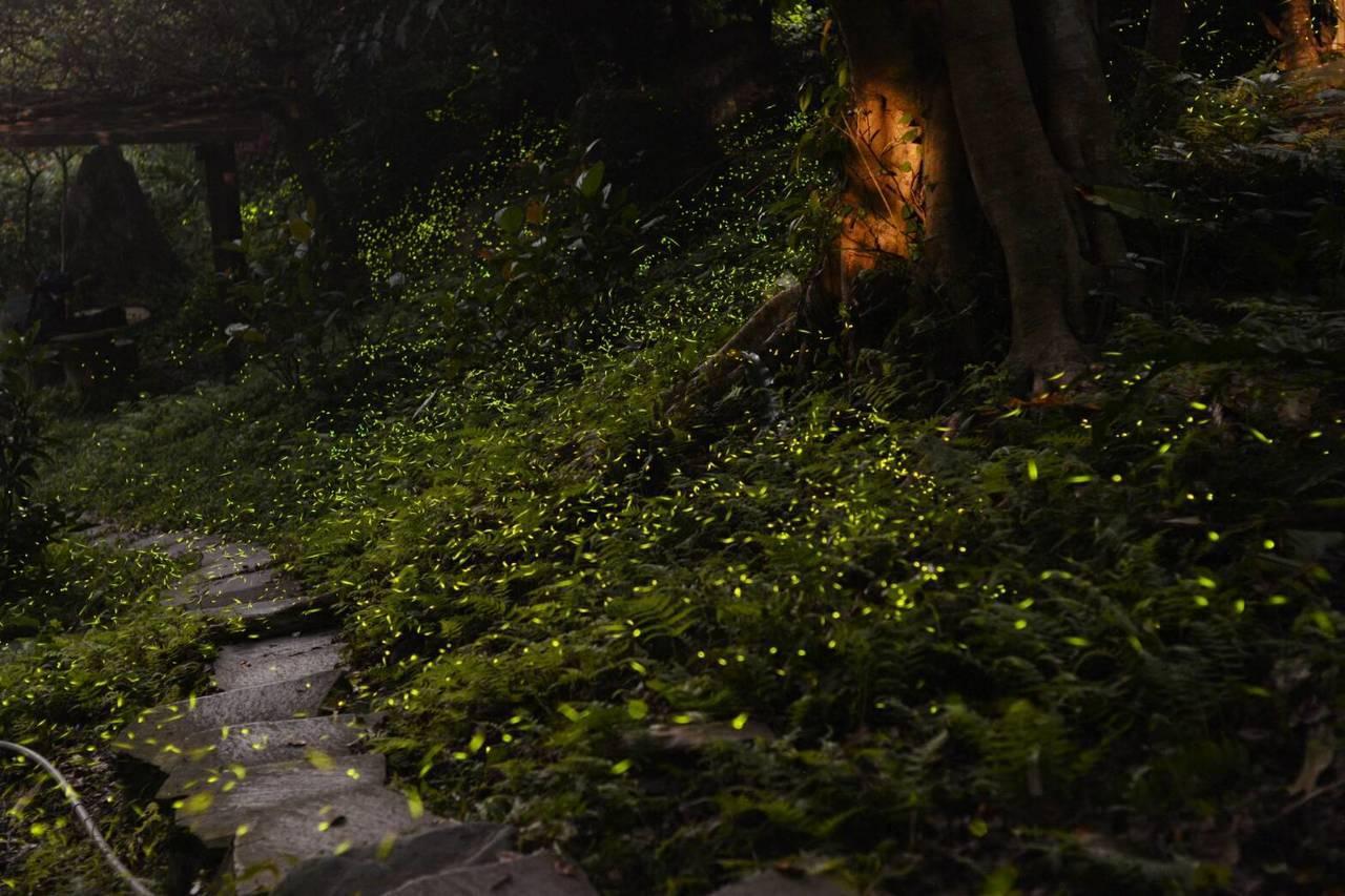 保有次原始森林樣貌的新北市土城區祖田里猴洞園區,到8月前都能追逐到螢火蟲的蹤跡。...