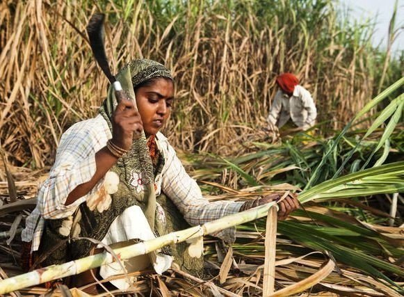 印度不少女性從事甘蔗採收的工作,為了不請生理假,部分醫師會建議她們拿掉子宮。圖取...