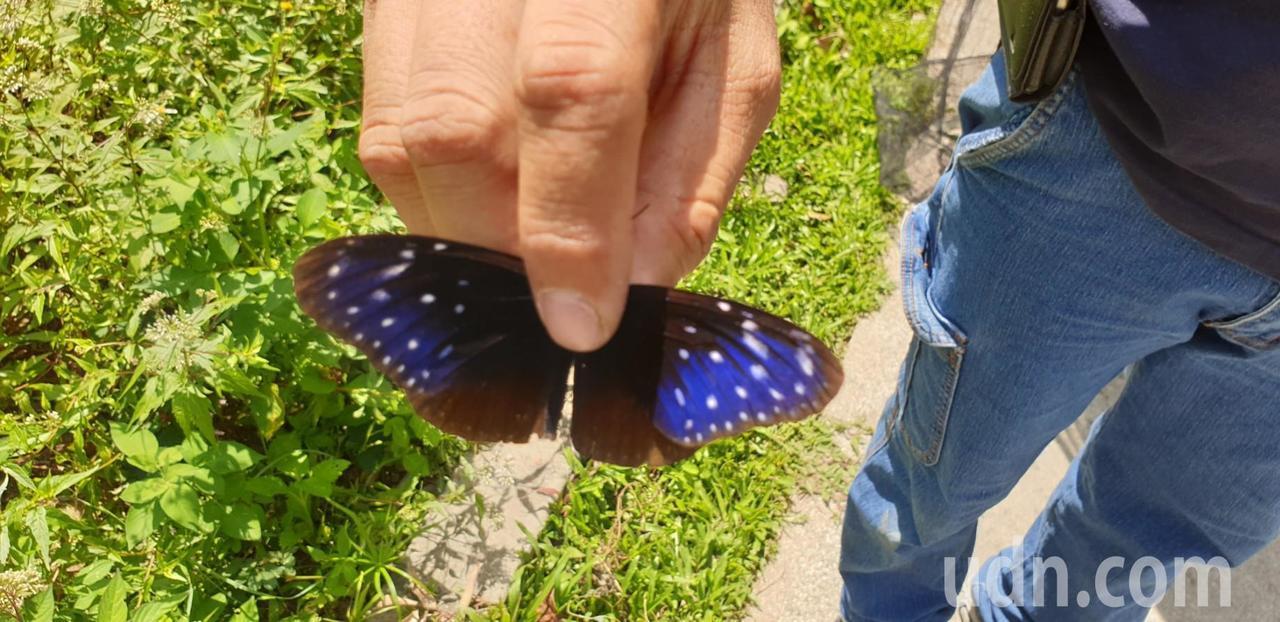 影/台中大坑500隻紫斑蝶漫天飛舞 盧秀燕說「哇」