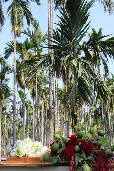 農委會輔導檳榔轉種芭樂及檸檬。圖/農委會提供