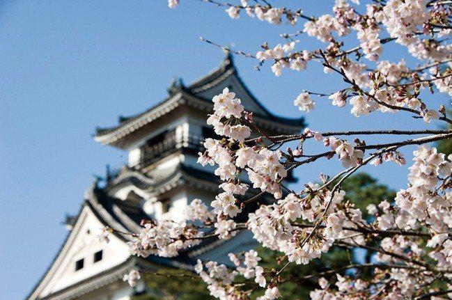 高知縣是日本本州櫻花最早開花的縣,平年約在三月中旬即開花。 資料提供/日本香川縣...