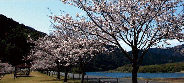 「四萬十川櫻堤公園」位於四萬十川下游區域,公園內多達500株的染吉野櫻於3月下旬...