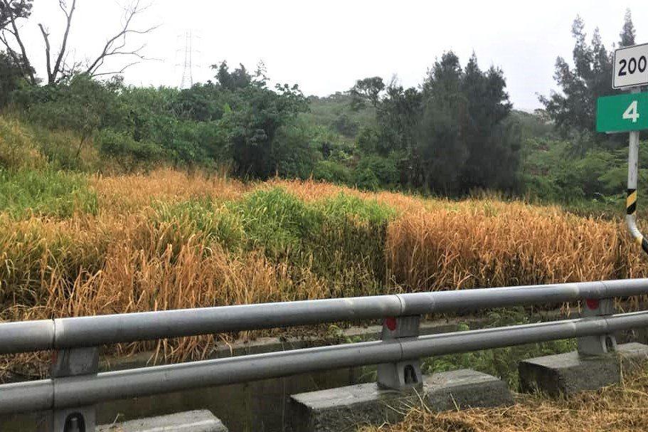 屏東縣恆春鎮多條道路旁雜草最近發現大量發黃枯死,民眾憂心它具危害人體和環境的毒性...