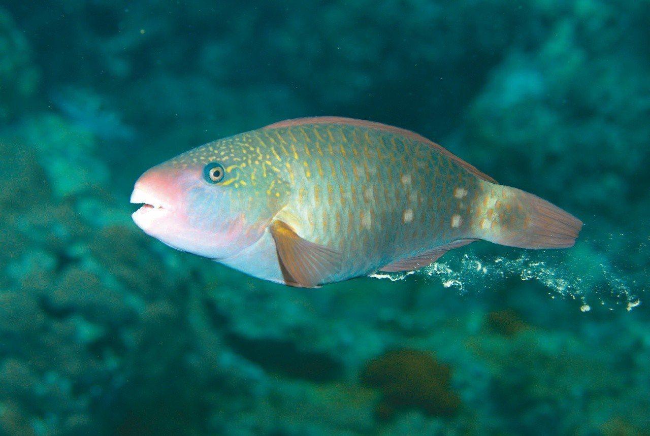 白斑鸚哥魚(雌)。 文‧攝影/布朗尼飛魚