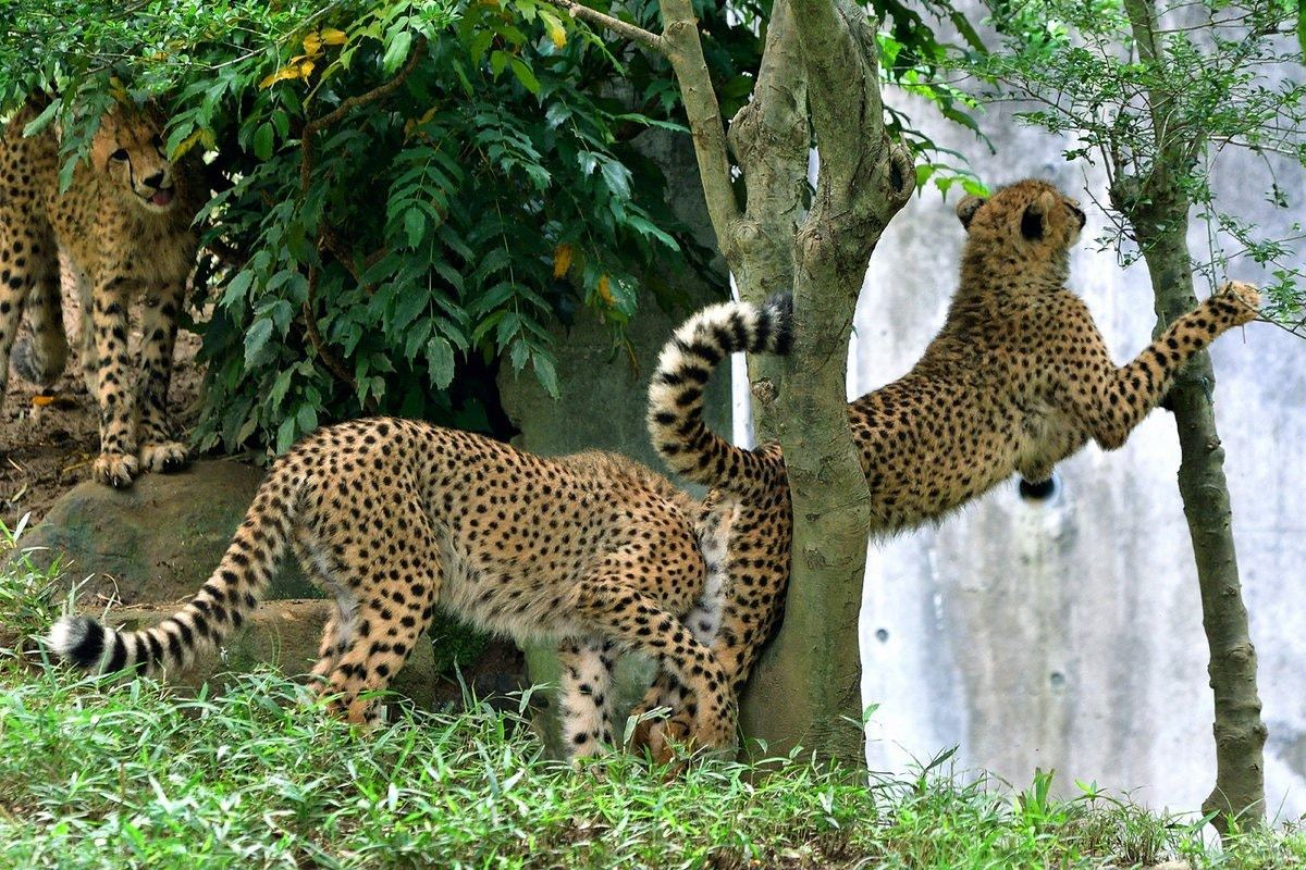 兩隻獵豹在玩追趕遊戲時,其中一隻被樹幹卡住。「nekooyaji」推特圖片