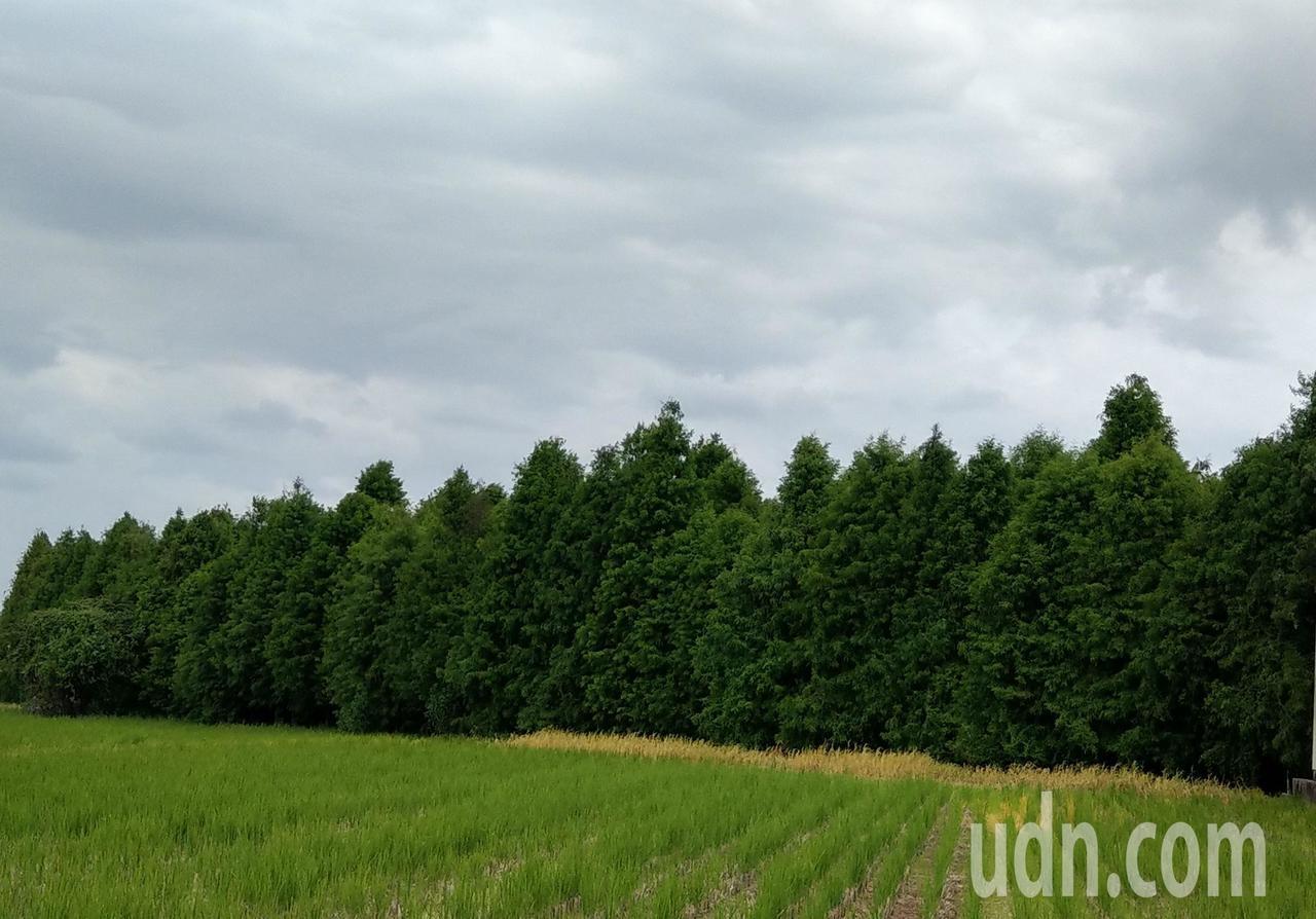 台中市一處落羽松林療癒系祕境,墨綠色落羽松林在淺綠色的稻田、藍天映襯下相當療癒。...