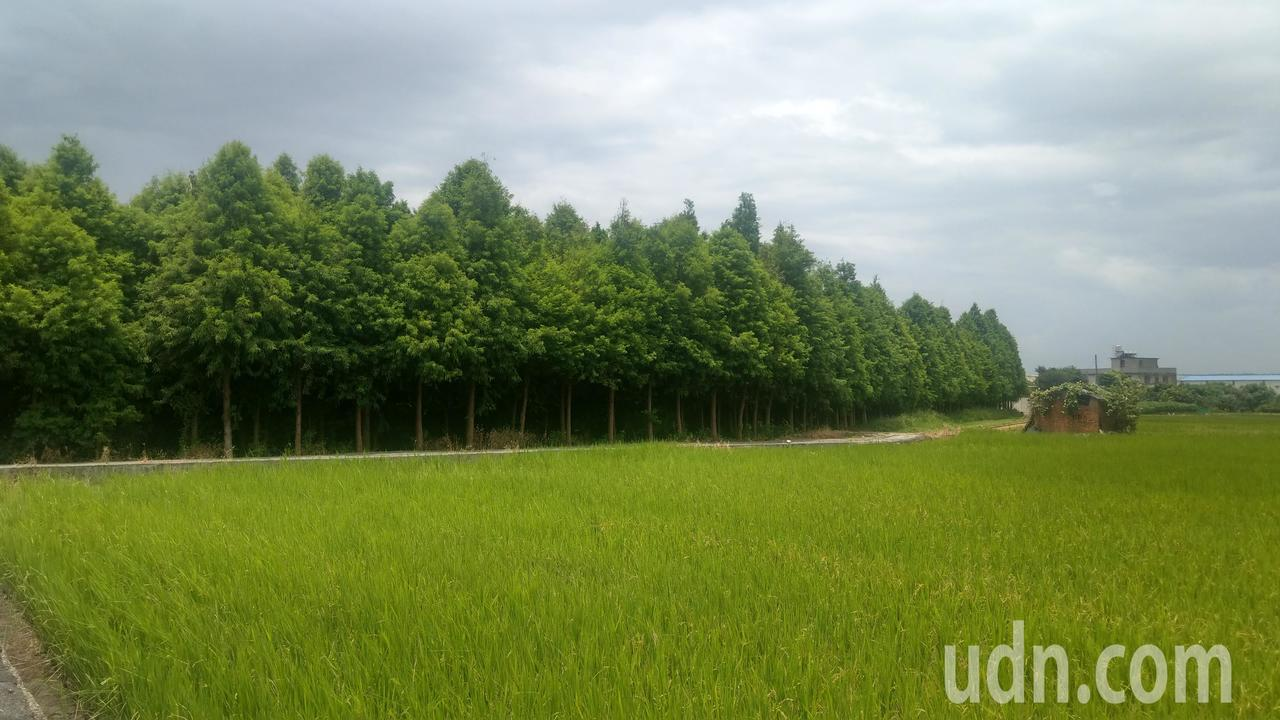 台中市一處落羽松林療癒系祕境,墨綠色落羽松林在淺綠色的稻田、天空映襯下相當療癒。...