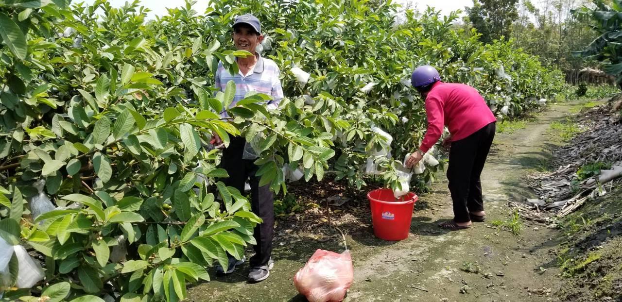 國泰產險推出「番石榴農作物保險」,以「免勘災」為特色,保障種植番石榴農民,減輕天...