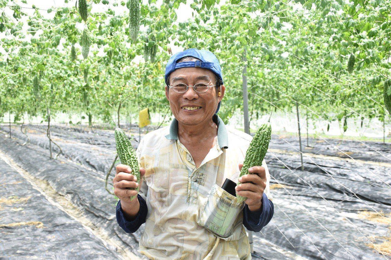 種植山苦瓜農友林瑞鵬表示,新品種耐熱、產量高。記者王思慧/攝影