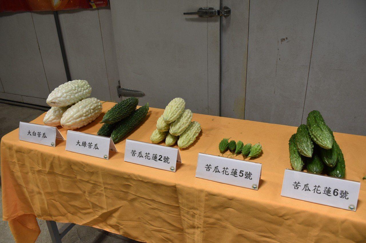 花蓮農改場改良花蓮山苦瓜品種,讓山苦瓜產量更好。記者王思慧/攝影