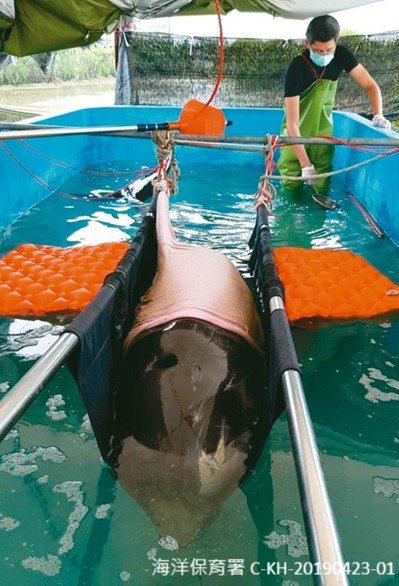 海洋委員海洋保育署今天公布第二季鯨豚及海龜擱淺報告,今年4月到6月全台共有50隻...