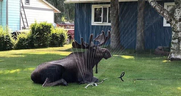 麋鹿闖進民宅,只為用灑水器「消暑」。圖擷自每日郵報