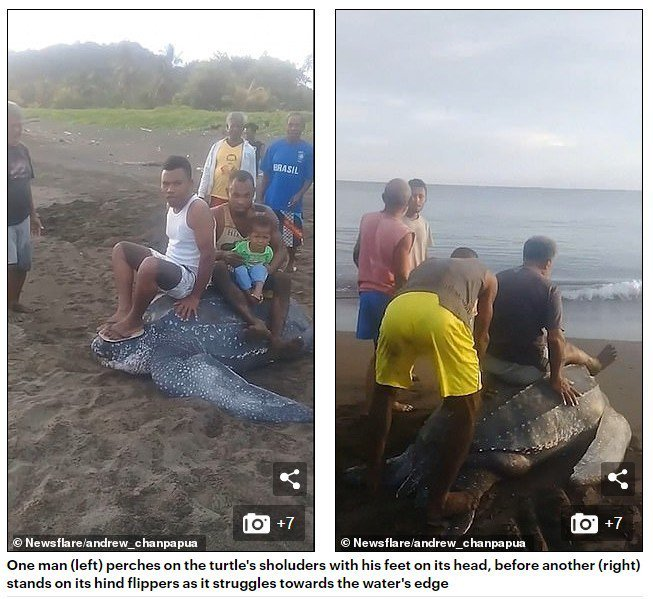 影片中,眾人輪流坐在棱皮龜上,讓剛產完卵想回海中的棱皮龜難以前行。圖擷自每日郵報