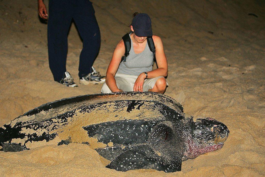 目前剩不到3萬隻的棱皮龜,恐將在20年內全數滅絕。圖擷自維基百科