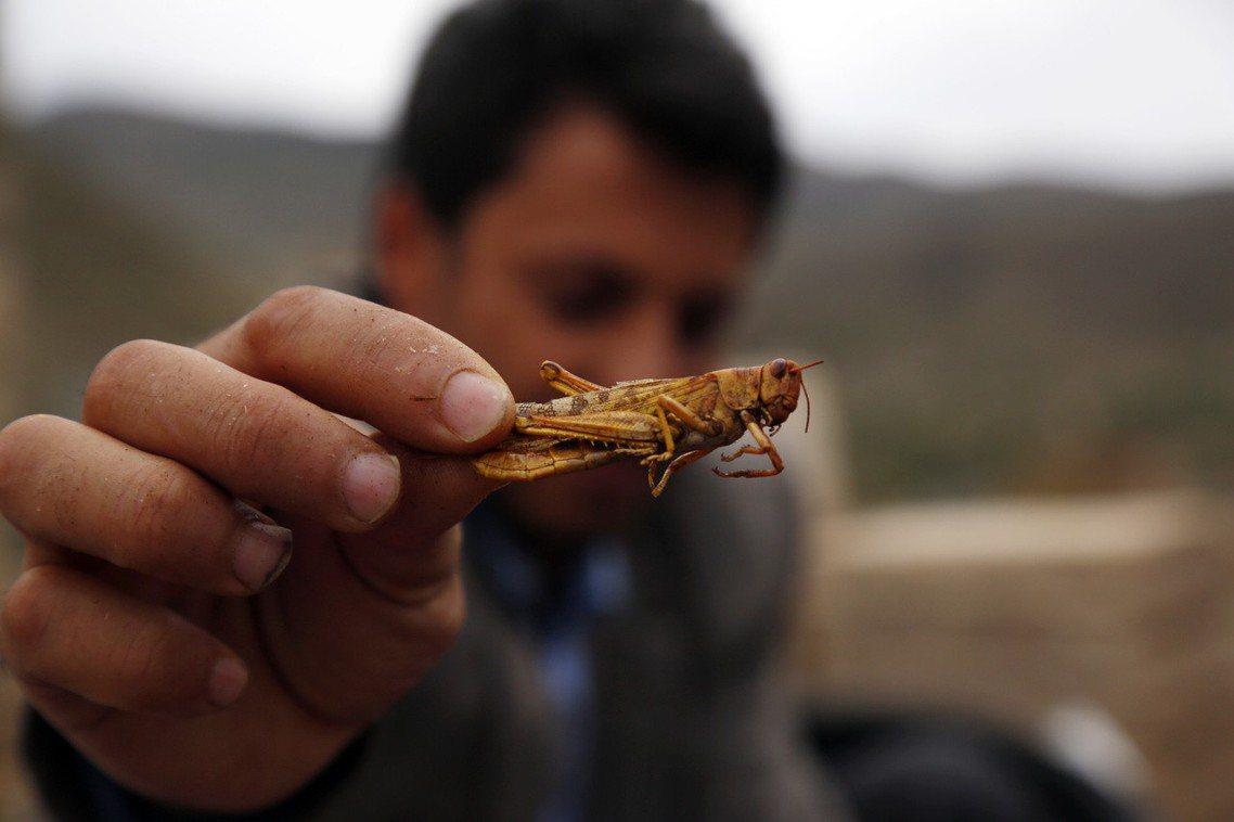 「一隻兩克重的蝗蟲,在24小時內可以吃下跟自己體重一樣的食物重量。」昆蟲學家一邊...
